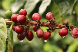 Bourbon Coffee Beans CoffeeInside