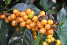 Bourbon Coffee in Brazil - Coffee Inside