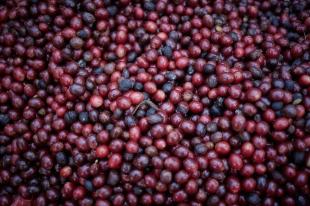 Cherry Coffee Jesus Mountain Coffee Farm - By Coffee Inside