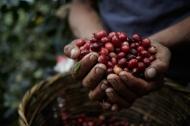 Cherry Coffee Mountain Coffee Farm - By Coffee Inside
