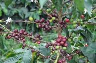 Coffee bean guatemala thumbdsc00111024