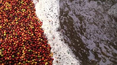 Coffee bean Processing in Guatemala - CoffeeInside