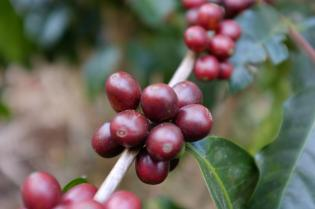 Coffee Beans Typica in Costa Rica -CoffeeInside