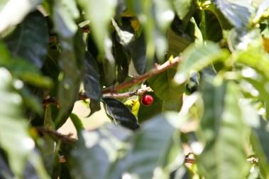 Coffee cherry Costarica - CoffeeInside