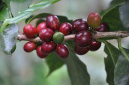 Coffee cherry Elsavador - CoffeeInside