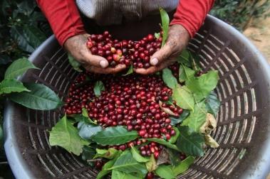 Coffee cherry in Costarica - CoffeeInside
