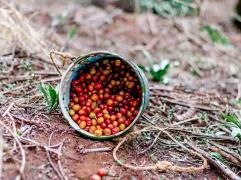 Coffee Cherry in Kenya - Coffee Inside