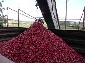 Coffee Cherry Sorting at Tanzania Factory - CoffeeInside