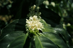 Coffee flower in Mexico - CoffeeInside