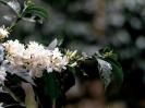 Coffee Flowers blooming just before bearing berries