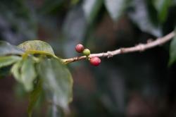 Coffee-Inside Coffee in Colombia Coffee-Inside