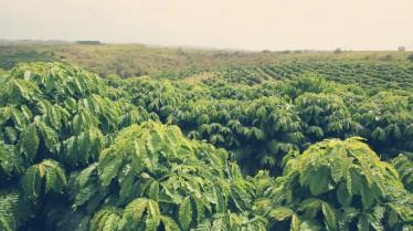 Coffee Robusta in Ecuador CoffeeInside