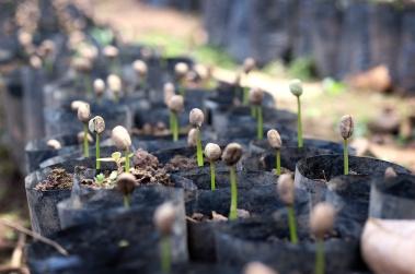 Coffee seedling in Mexico - CoffeeInside