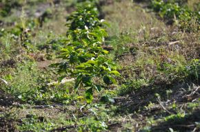 coffee seedling in Santa Barbara - Honduras - by CoffeeInside