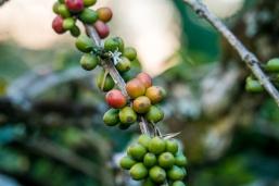 Coffee Sumatra Indonesia