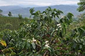 Coffee tree guatemala - CoffeeInside
