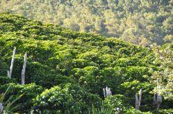 Coffee tree Honduras - CoffeeInside