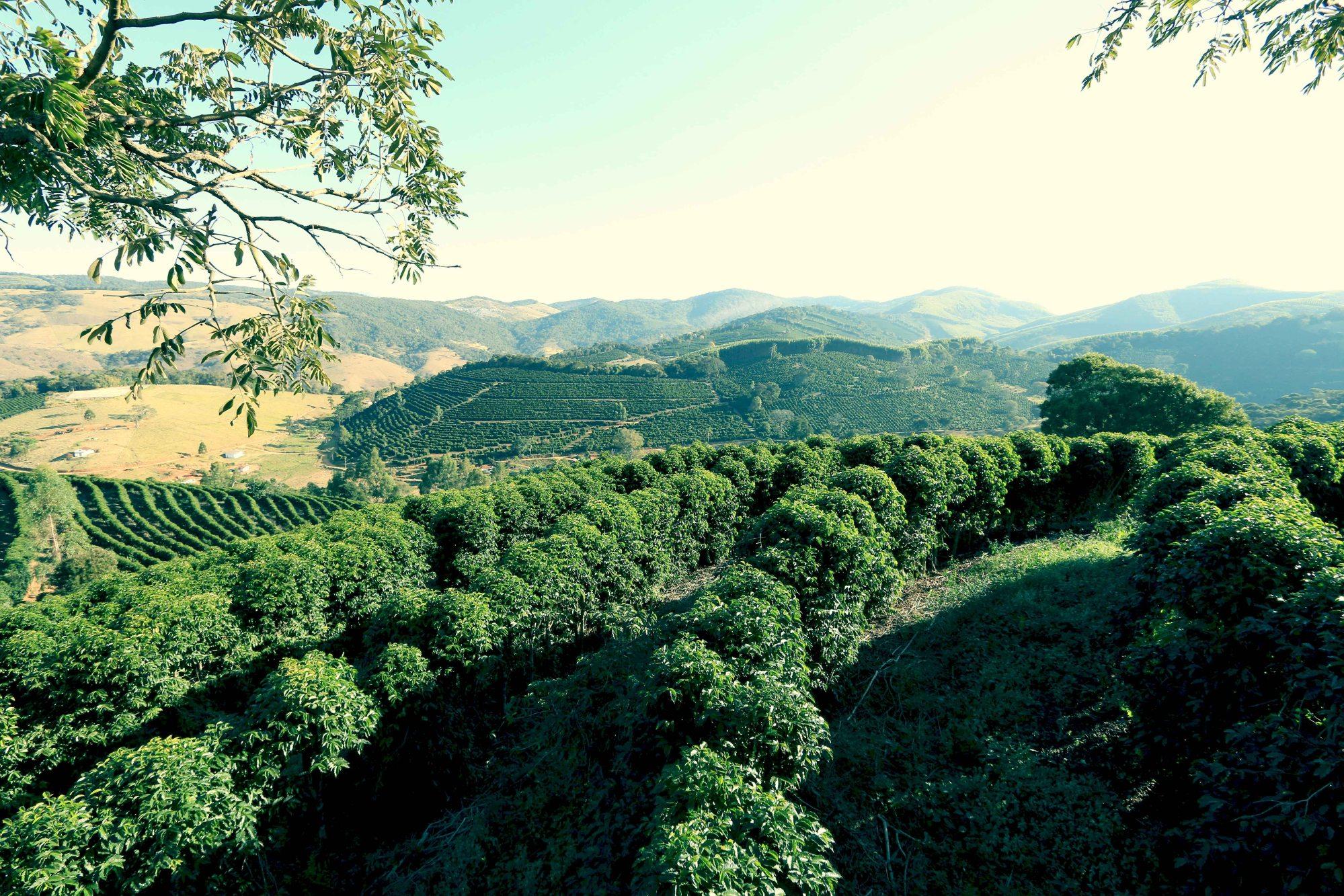 Coffee Tree in Brazil - CoffeeInside