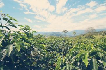 Coffee tree Robusta in Ecuador CoffeeInside