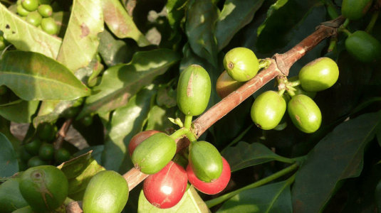 Coffee var.Bourbon at Arusha - Tanzania - CoffeeInside