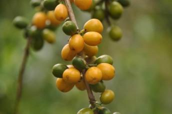 Coffee Yellow Bourbon in Colombia - CoffeInside