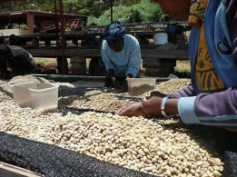 Dry Coffee After the fermentation process - CoffeeInside