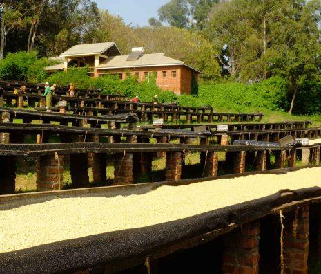 Dry Coffee in Tazania - CoffeeInside