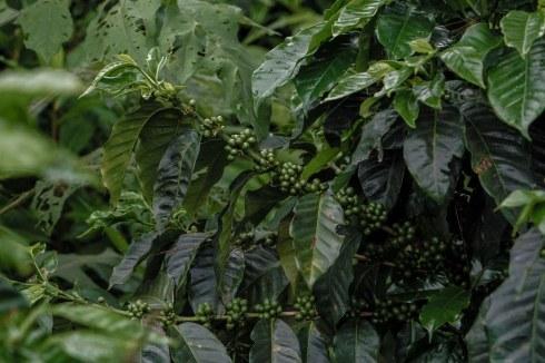 El Salvador Pacamara Coffee Var - Coffee Inside
