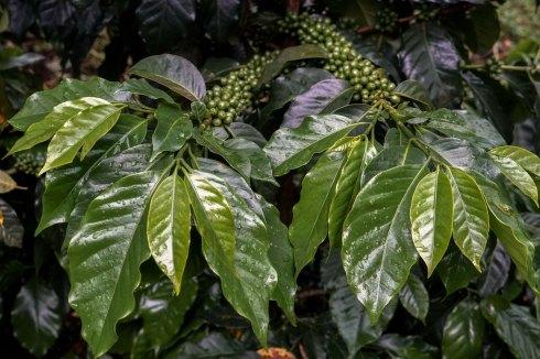 El Salvador Pacas Coffee Var - Coffee Inside