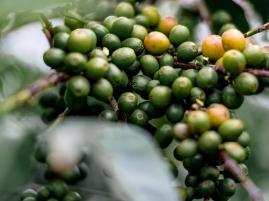 Green berries ripening in Kenya - CoffeeInside