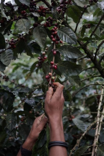 Harvest Coffee Mountain Coffee Farm - By Coffee Inside