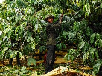Harvest Robusta coffee in Kom Tum Vietnam - CoffeeInside