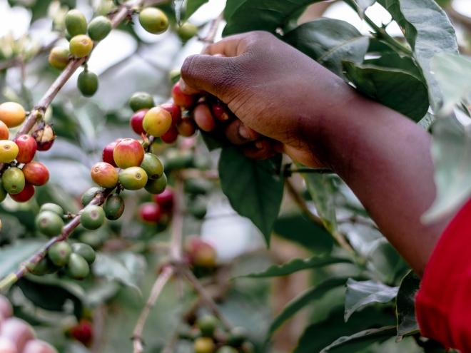 Harvesting Coffee in Kenya - Coffee Inside