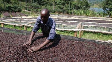Natural Process - Sundried Process - Dry Processe - Coffee Inside