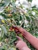 Picking of ripe berries - CoffeeInsidePicking of ripe berries - CoffeeInside