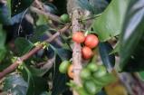Pink Bourbon in Colombia - CoffeeInside