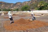 Pulped Natural Process -Semi-dry - Honey Process - Coffee Inside 5