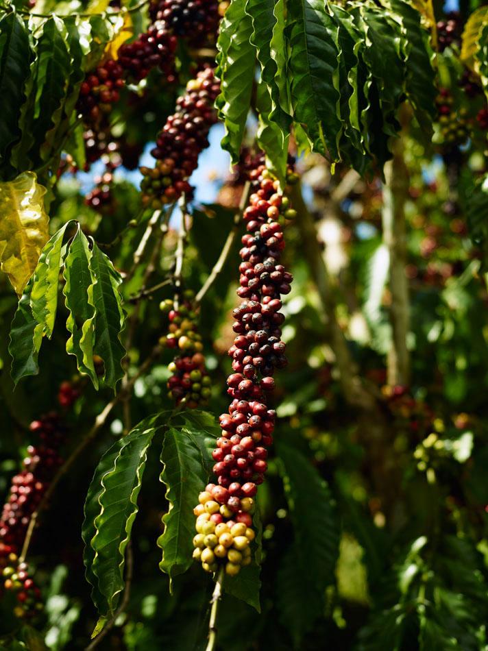 Robusta coffee in Kom Tum Vietnam - CoffeeInside