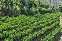 Seedling coffee Costa Rica - Coffee Inside