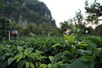 Seedling Coffee Guatemala - CoffeeInside