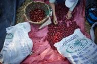 sorting Coffee Jesus Mountain Coffee Farm - By Coffee Inside