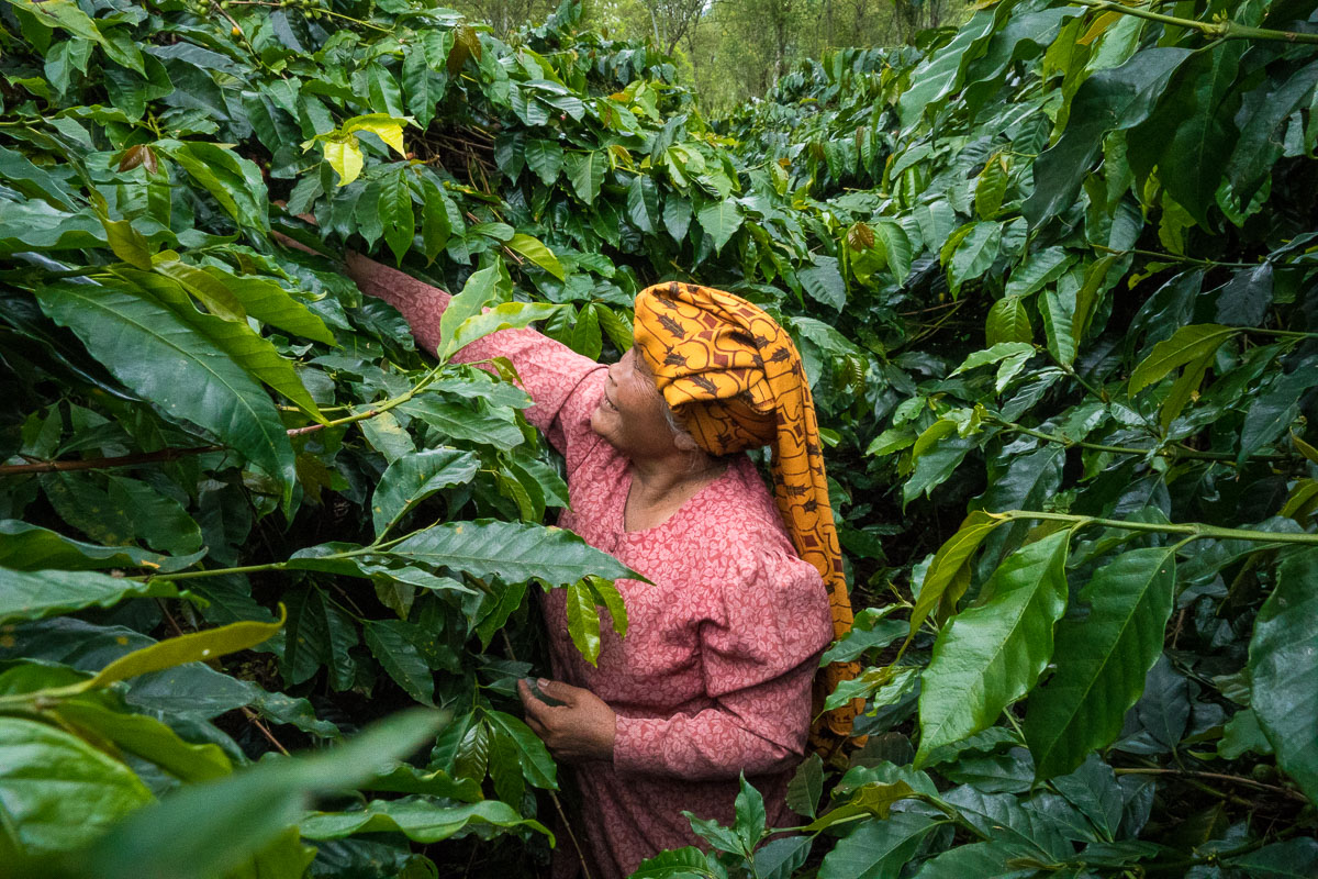 Sumatra Woman with Coffee Indonesia