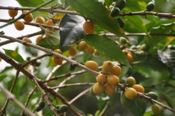 Yellow Bourbon in Colombia - CoffeInside