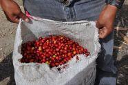 Coffee cherry in Nicaragua - Coffee Inside