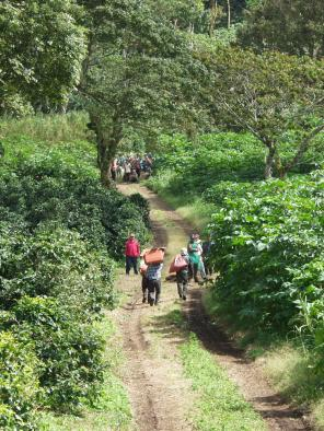 Coffee cherry pickers in Nicaragua - Coffee Inside