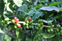 Harvest coffee Nicaragua - Coffee Inside