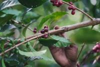 papua new guinea coffee chery - Coffee Inside